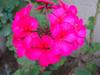 Vivitpink_flower