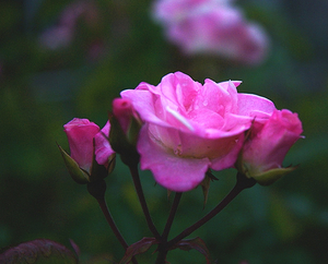 Rose_bloom_3